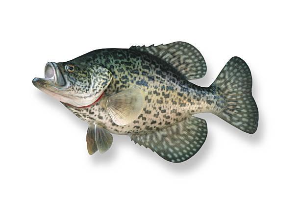 fishing crappie