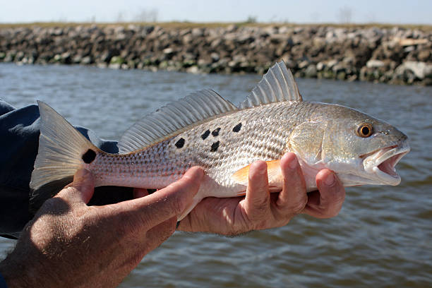 red drum fish